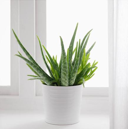 aloe-vera-potted-plant__0443861_pe594585_s4.jpg