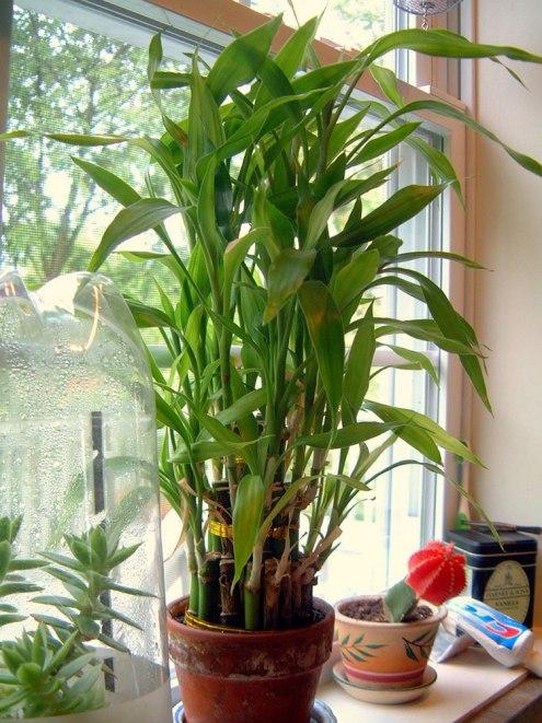 lucky-bamboo-plant.jpg
